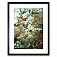 Nature Biology Bird Humming Haeckel Vintage Framed Art Print 9x7 Inch