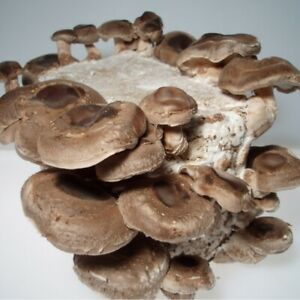 10ml Shiitake mushroom liquid culture