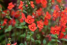 NEW-VERY PRETTY & LITTLE KNOWN ALONSOA–MASKFLOWER SEED