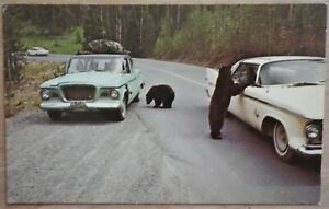 Two Black Bears Begging For Food Yellowstone National Park, Wyoming Postcard