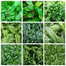 100 Spinach Vegetable Seeds Spinacia Oleracea Amaranthaceae 20 Kinds Rare Plants
