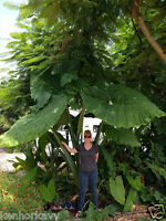 Goliath Giant Elephant Ear Live Plant cutting (root), Xanthosoma saggitifol huge