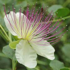 Capparis spinosa | Spineless Caper Bush | Flinders Rose | 20_Seeds