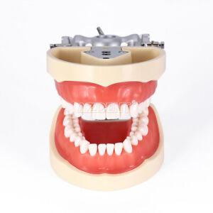 Kilgore NISSIN 200 tipo modelo de tipodonto dental con dientes extraíbles
