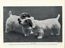 SEALYHAM TERRIER DOGS AT PLAY LOVELY OLD 1934 DOG PRINT