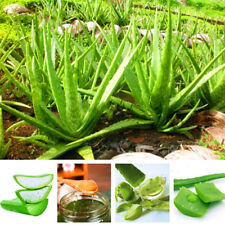 100 Seed Vegetables Aloe Vera Seeds Edible Succulent Plant Rare Herbal Medicinal