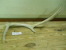 Elk Antler for many uses knife handles jewlery home decor projects Ae0084