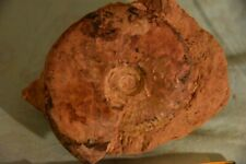 ammonite Leioceras comptum aalénien ombilic présent 98 mm
