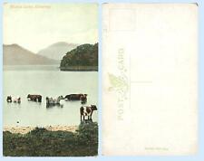 Cows Middle Lake Killarney Ireland Irish Country Life UK Postcard