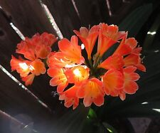 5 Seeds from Picotee X Peach Clivia