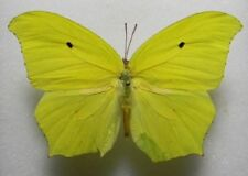 100 REAL yellow BUTTERFLY  Anteos maerula  unmounted butterfly
