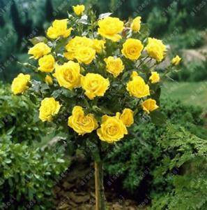 20 seeds - Rose Tree Plant Flower Style 5 - UK Seller