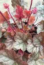 Heuchera REGINA burgundy BRONZE silver coral bells shade perennial plant