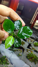 Live Aquarium Plants Anubias Nana - PLPA06