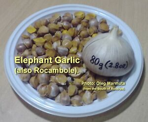 20-50-100 Elephant Garlic Corms (baby onions) (he is Rocambole) ДЕТКИ РОКАМБОЛЯ