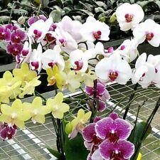 100 Butterfly Orchid Flowers Seeds Rare Cymbidium Bonsai Plants in Home Garden