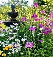 ⭐️Lot 6/ SHASTA DAISY PLANTS Live BARE ROOT Perennial USA White Petals FABULOUS!