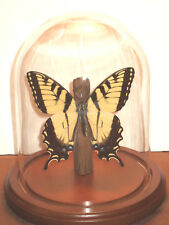 Papilio glaucus Butterfly Dome