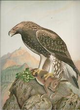 Naumann 1905 Naturgeschichte der Vogel. Golden Eagle