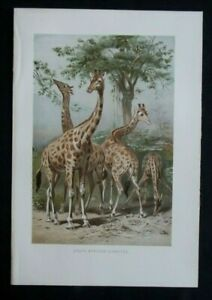 Antique Print: Giraffes by Pierre Jacques Smit, The Royal Natural History, 1894