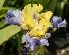 *Edith Wolford* Tall Bearded Iris. Freshly Dug, Combined Shipping: Feb/Mar