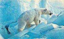 POLAR BEAR in Arctic Alaska on Ice Flow Large Postcard Anchorage AK