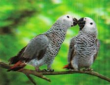 xxl - 3 -D - Magnet: schnäbelnde Graupapageien - Grey Parrots