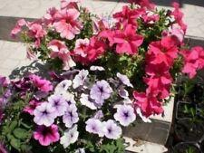250 DWARF MIXED PETUNIA Flower Seeds + Gift & Comb S/H