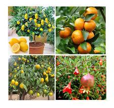 orange - lemon - tangerine - pomegrante 8 cuttings