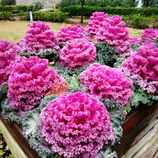 50 Mix Color Kales Flower Seeds Stunning Blooms Balcony Delicious Vegetable A109