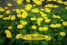 Gemswurz, Doronicum caucasicum, Planze im Topf