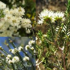 S.AUST SWAMP / SALT PAPERBARK (Melaleuca halmaturorum) SEEDS 'Bush Tucker Plant'