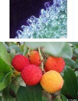 ERDBEERBAUM und EISKATUS - toll für drinnen - glitzernd und fruchtig