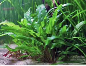 *BUY 2 GET 1 FREE* Cryptocoryne Wendtii Green Pot Crypt Live Aquarium Plants ✅