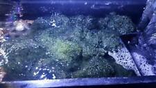 *Sale*1 cup Chaetomorpha Macro Algae Chaeto nutrient Export Free shipping !