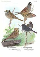"1936 Vintage FUERTES BIRDS #82 ""JUNCO & THREE SPARROWS"" Color Plate Lithograph"