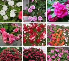 Mix Impatiens walleriana 9 Colors Busy Lizzie Balsam Perennial Flower 20 Seeds