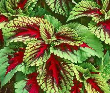 COLEUS KONG RED Solenostemon Scutellarioides - 40 Bulk Seeds