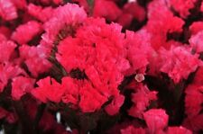 50+ Rosey Red Statice Flower Seeds / Long Lasting Annual / Great Gift