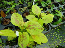 1 pot d echinodorus yellow sun  plante aquarium tres rare made in france