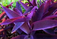 Tradescantia pallida Purple Heart Plant Purple Wandering Jew Fast Shipping