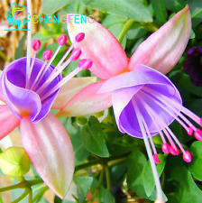 200 Pcs Seeds Lantern Hanging Flowers Fuchsia Plants Coccinea Bonsai Tree 2019 N