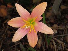 Rain Lily, Zephyranthes Batik, 2 bulbs, mixed sizes, NEW, habranthus