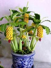Seeds Ornamental Banana Tree Indoor Dwarf Plant Flower Perennial Garden Ukraine