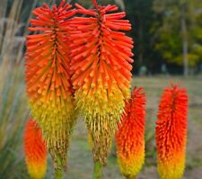50 Seeds Torch Lily Kniphofia Uvaria Bonsai Plant House Herb Garden Flower Decor