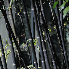 100+ fresh Black Bamboo Seeds with instructions - P. Nigra