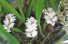 Orchid Plants Eria Floribunda orchid species