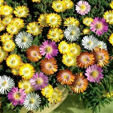 Ice Plant Mixed Color 1000 seeds mesembryanthemum *LIVINGSTONE DAISY* CombSH B71