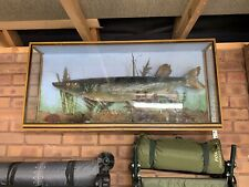"""More details for taxidermy. pike in glass case 40"""" x 20"""" x 6"""""""