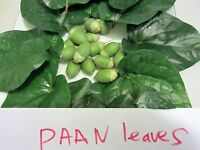 """2 Potted PLANTS 12"""" Paan Piper Betel Betle Plant  Herb Vine Medicinal Uses"""